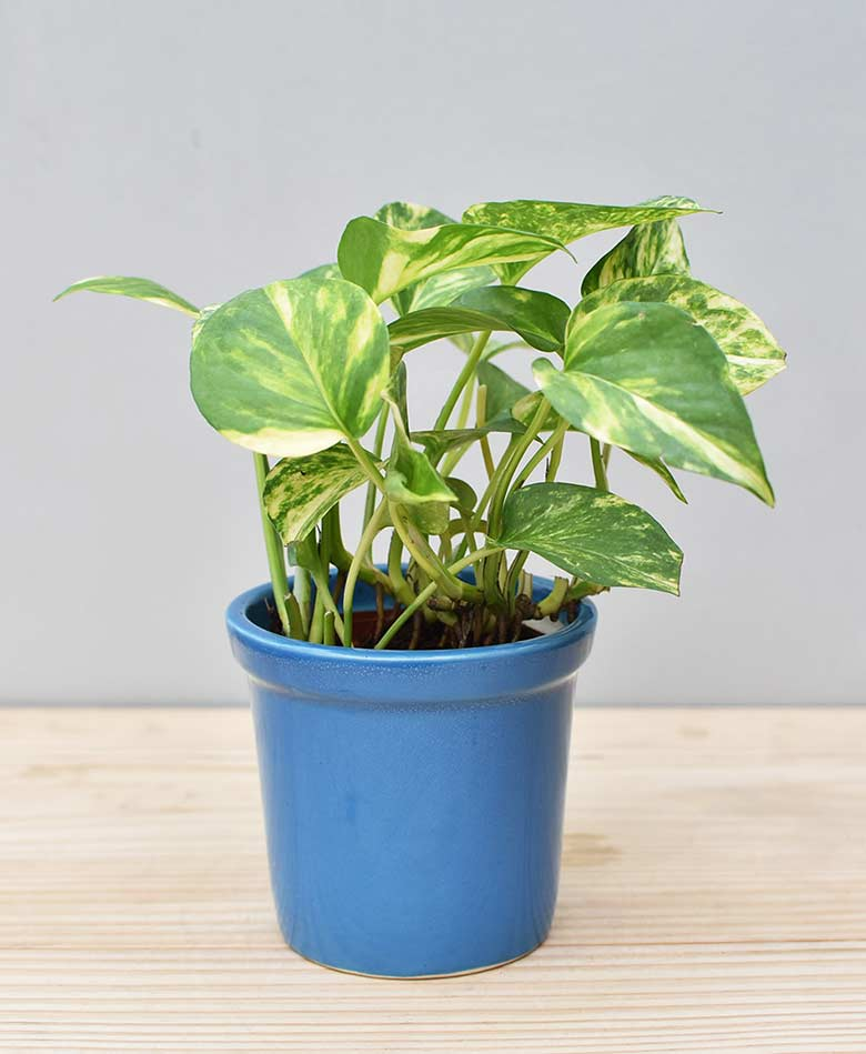 Ceramic Rim Pot Blue with Variegated Golden Pathos (Draceana)