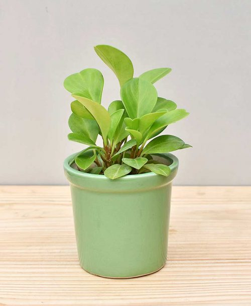 Ceramic Rim Pot Green with Peperomia (Radiator Plant)