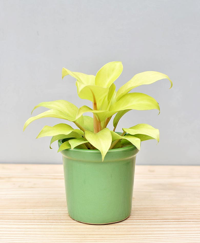 Ceramic Rim Pot Green with Philodendron Golden