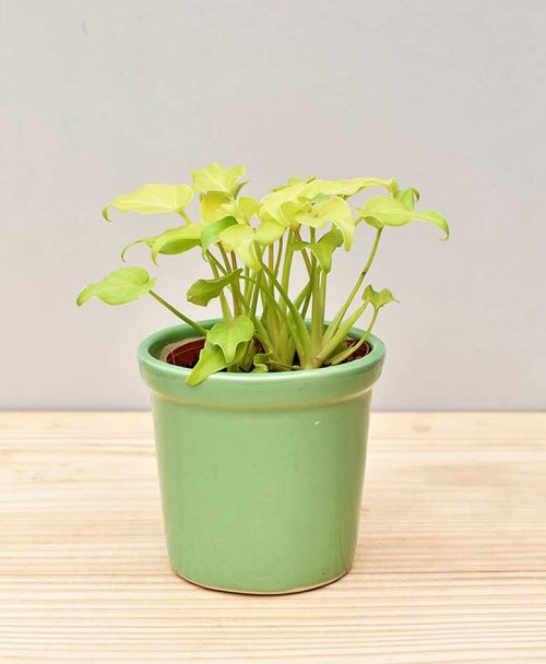 Ceramic Rim Pot Green with Philodendron (Xanadu Golden)