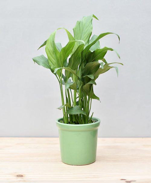 Ceramic Rim Pot Green with Spathiphyllum (Peace Lily)