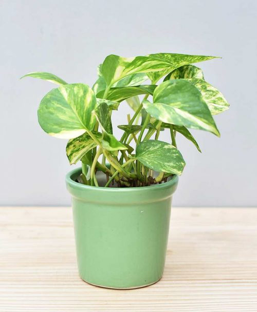 Ceramic Rim Pot Green with Variegated Golden Pathos (Draceana)