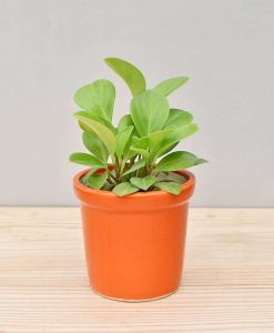 Ceramic Rim Pot Orange with Peperomia (Radiator Plant)
