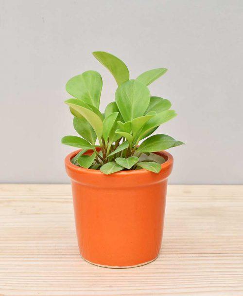 Ceramic Rim Pot Orange with Peperomia (Radiator Plant)