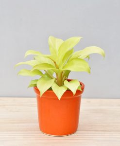 Ceramic Rim Pot Orange with Philodendron Golden