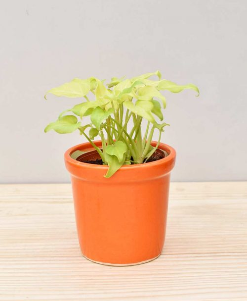 Ceramic Rim Pot Orange with Philodendron (Xanadu Golden)
