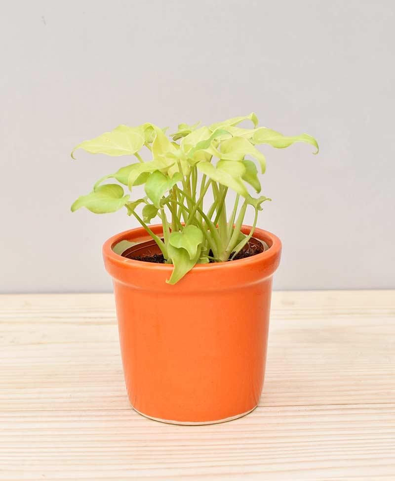 Ceramic Rim Pot Orange with Philodendron (Xanadu Golden)