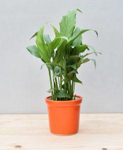 Ceramic Rim Pot Orange with Spathiphyllum (Peace Lily)