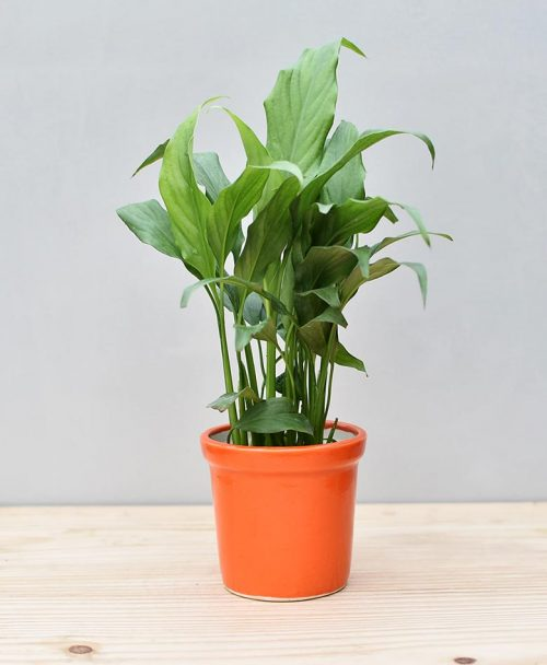 Ceramic Rim Pot Orange with Spathiphyllum (Peace Lily)