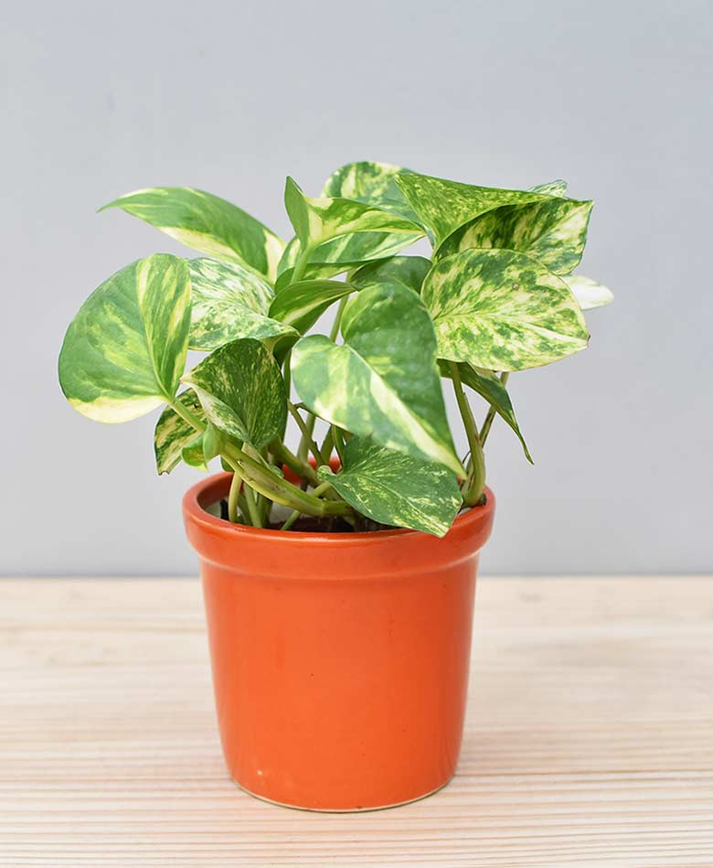 Ceramic Rim Pot Orange with Variegated Golden Pathos (Draceana)