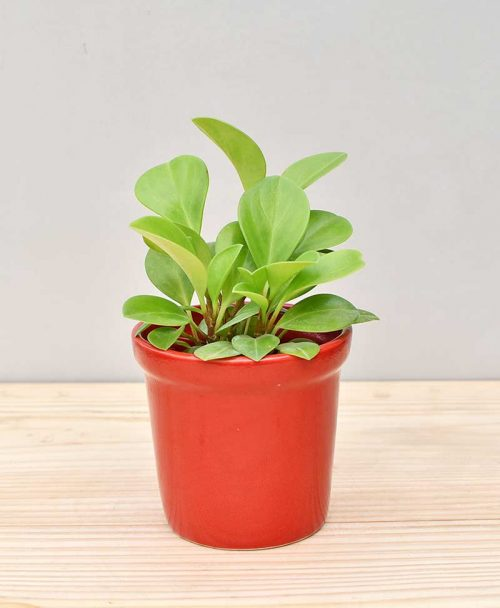 Ceramic Rim Pot Red with Peperomia (Radiator Plant)