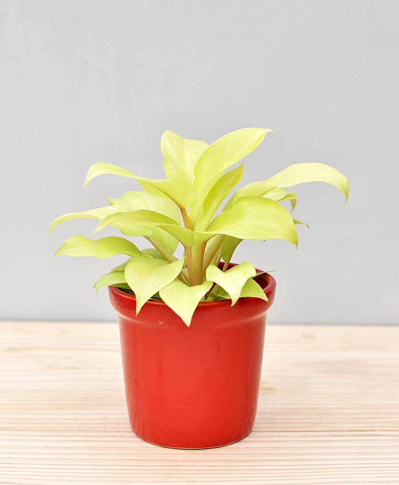 Ceramic Rim Pot Red with Philodendron Golden