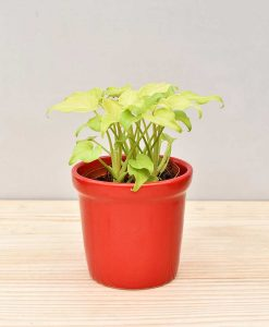 Ceramic Rim Pot Red with Philodendron (Xanadu Golden)