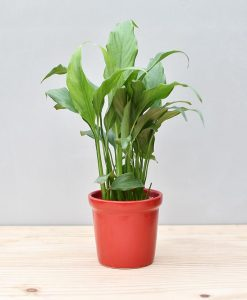 Ceramic Rim Pot Red with Spathiphyllum (Peace Lily)
