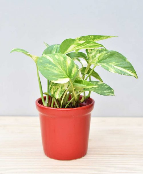 Ceramic Rim Pot Red with Variegated Golden Pathos (Draceana)