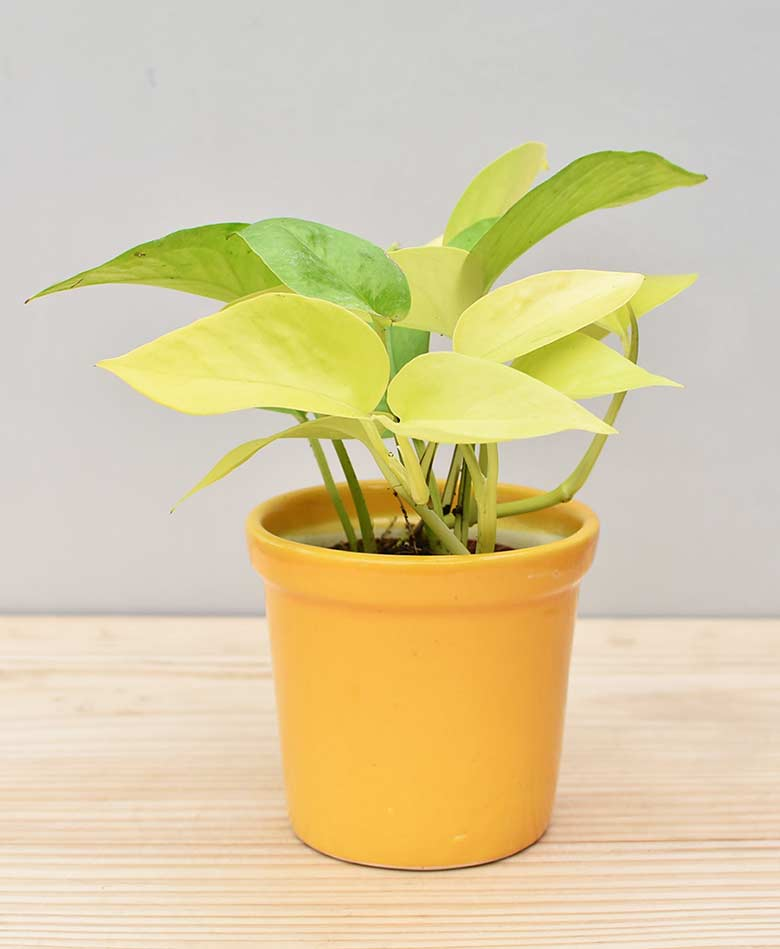 Ceramic Rim Pot Yellow with Golden Pathos (Draceana)