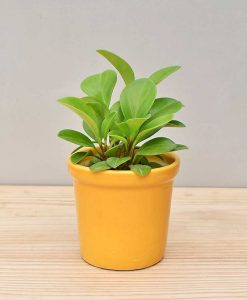 Ceramic Rim Pot Yellow with Peperomia (Radiator Plant)