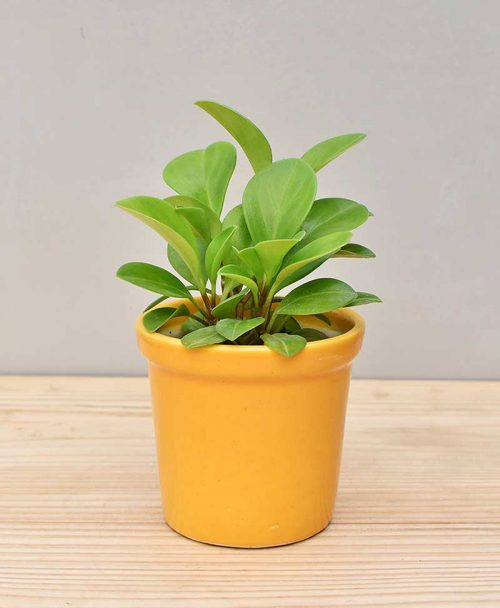 Ceramic Rim Pot Yellow with Peperomia (Radiator Plant)