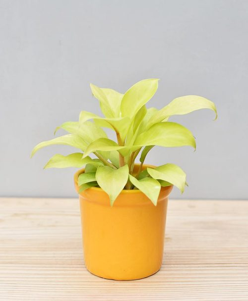 Ceramic Rim Pot Yellow with Philodendron Golden
