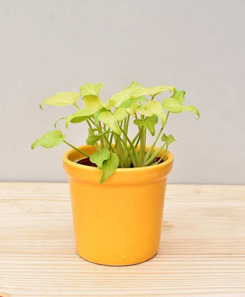 Ceramic Rim Pot Yellow with Philodendron (Xanadu Golden)
