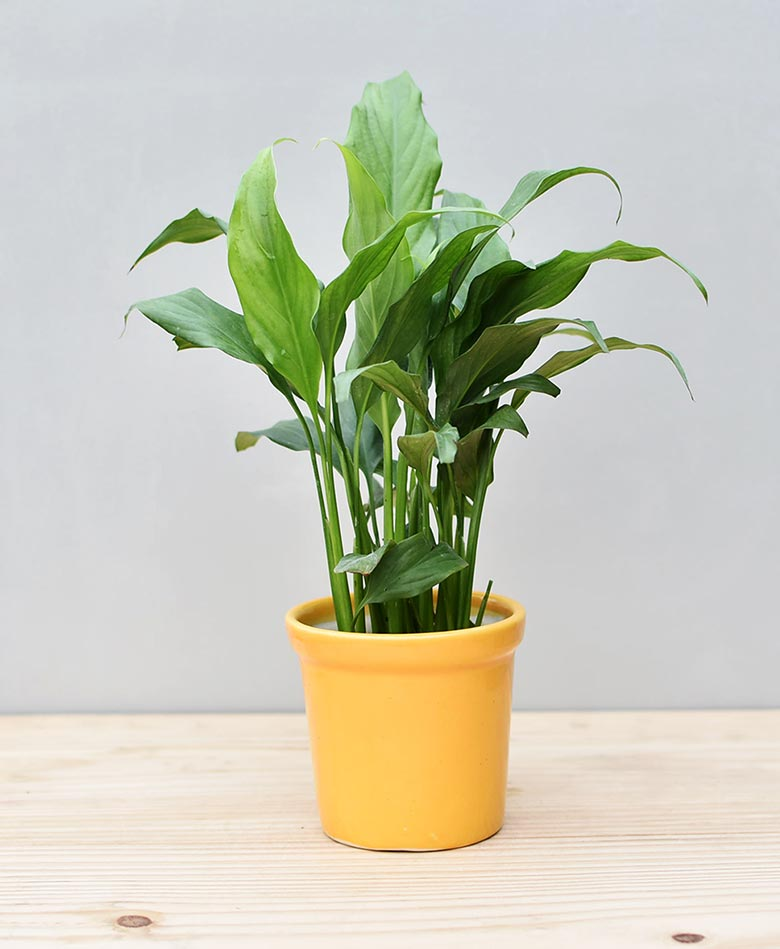 Ceramic Rim Pot Yellow with Spathiphyllum (Peace Lily)