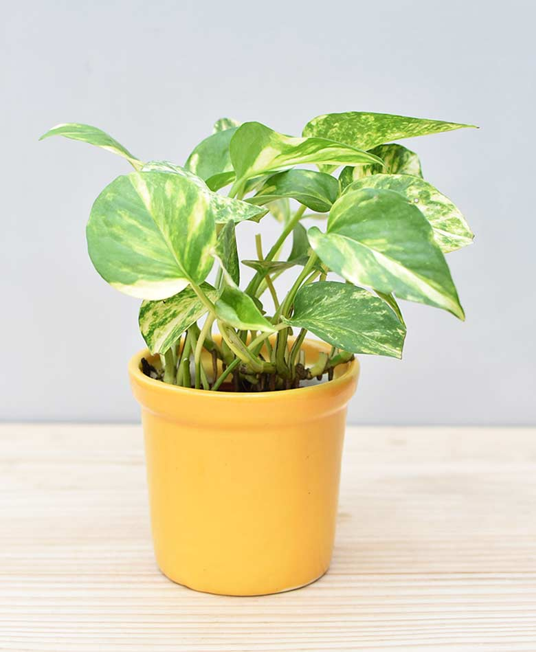 Ceramic Rim Pot Yellow with Variegated Golden Pathos (Draceana)