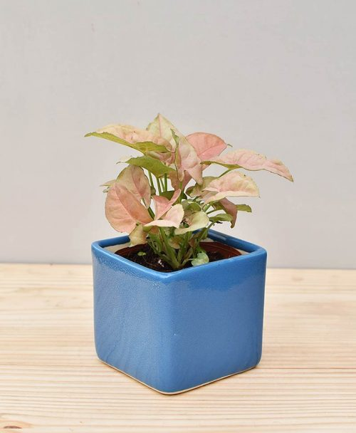 Ceramic Square Pot Blue with Dwarf Syngoniums Pink