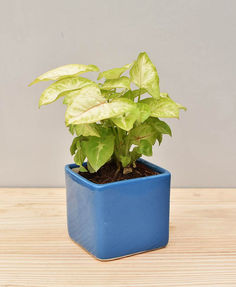 Ceramic Square Pot Blue with Dwarf Syngoniums