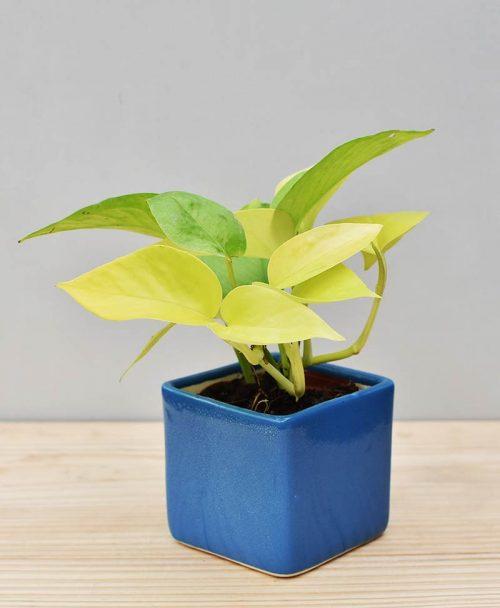 Ceramic Square Pot Blue with Golden Pathos (Draceana)