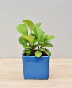 Ceramic Square Pot Blue with Peperomia (Radiator Plant)