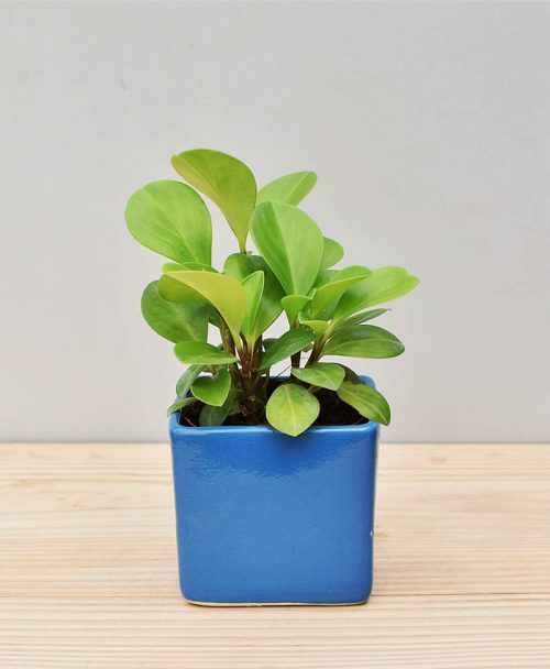 Ceramic Square Pot Blue with Peperomia (Radiator Plant)