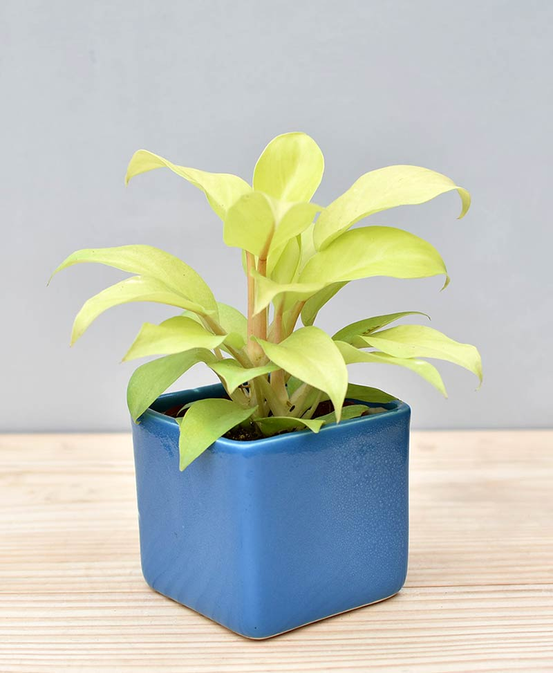 Ceramic Square Pot Blue with Philodendron Golden
