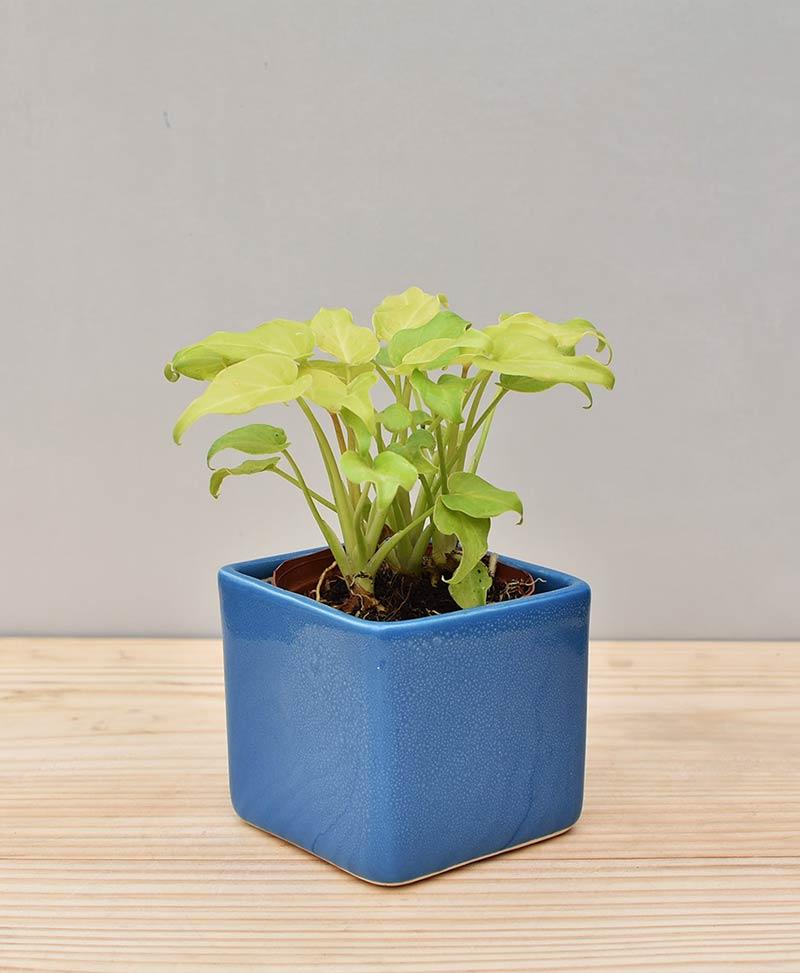 Ceramic Square Pot Blue with Philodendron (Xanadu Golden)