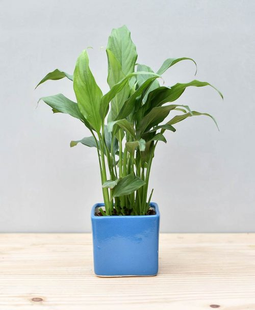 Ceramic Square Pot Blue with Spathiphyllum (Peace Lily)