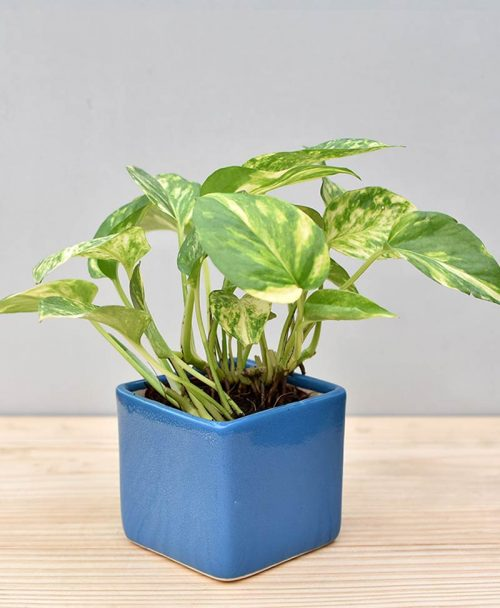 Ceramic Square Pot Blue with Variegated Golden Pathos (Draceana)