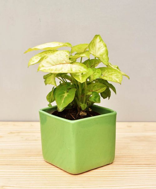 Ceramic Square Pot Green with Dwarf Syngoniums