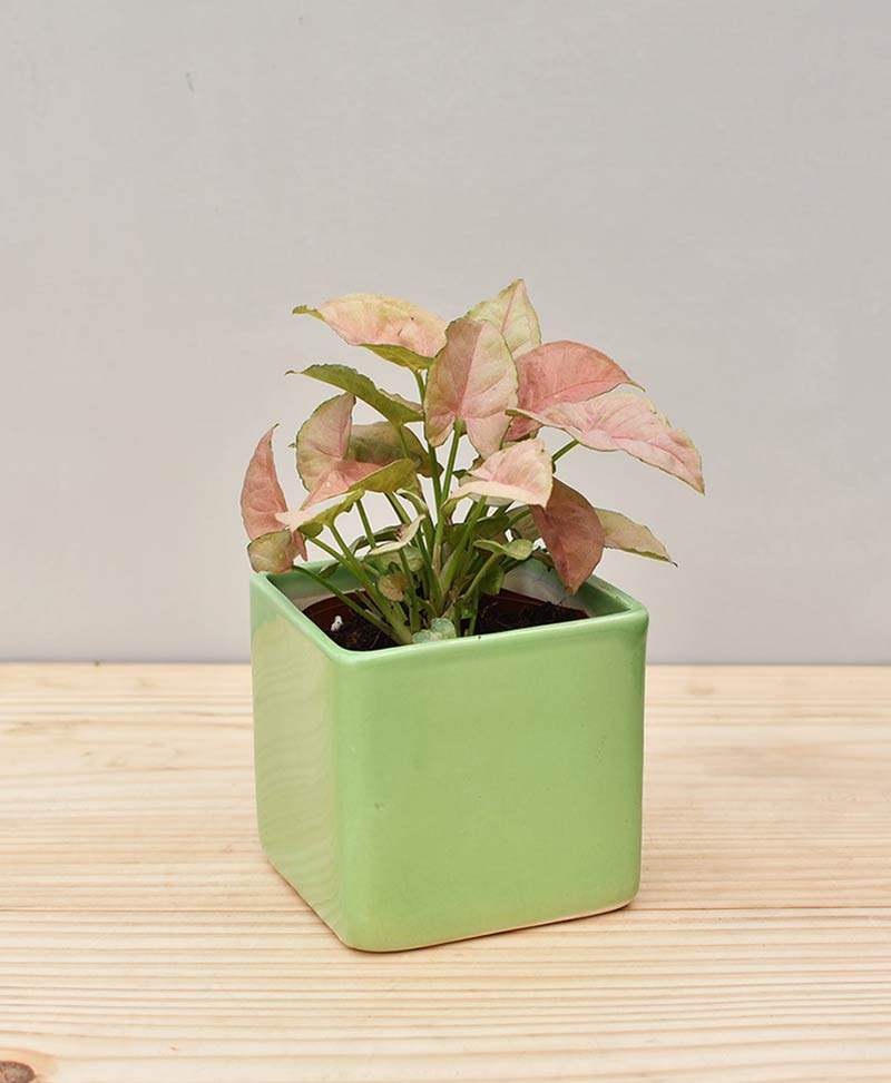 Ceramic Square Pot Green with Dwarf Syngoniums Pink