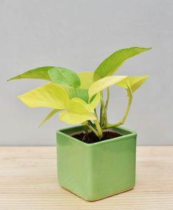 Ceramic Square Pot Green with Golden Pathos (Draceana)