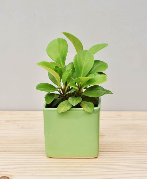 Ceramic Square Pot Green with Peperomia (Radiator Plant)