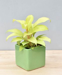 Ceramic Square Pot Green with Philodendron Golden