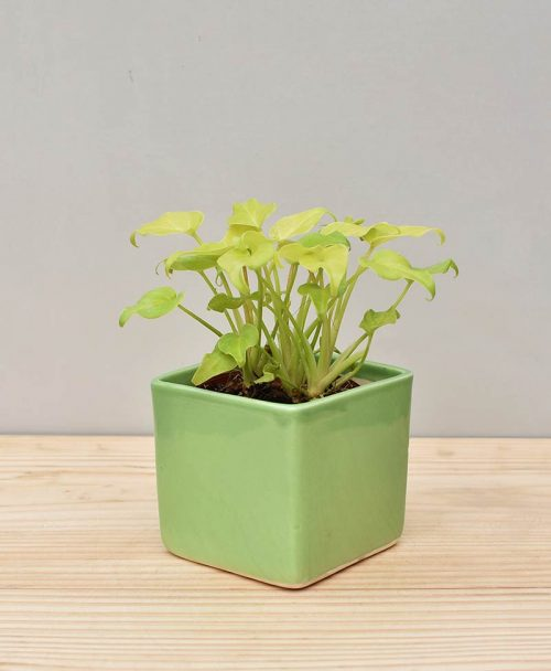 Ceramic Square Pot Green with Philodendron (Xanadu Golden)