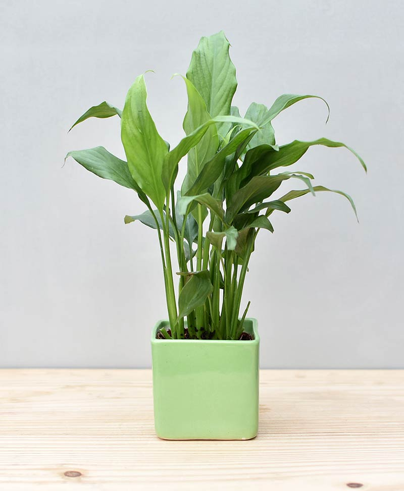 Ceramic Square Pot Green with Spathiphyllum (Peace Lily)