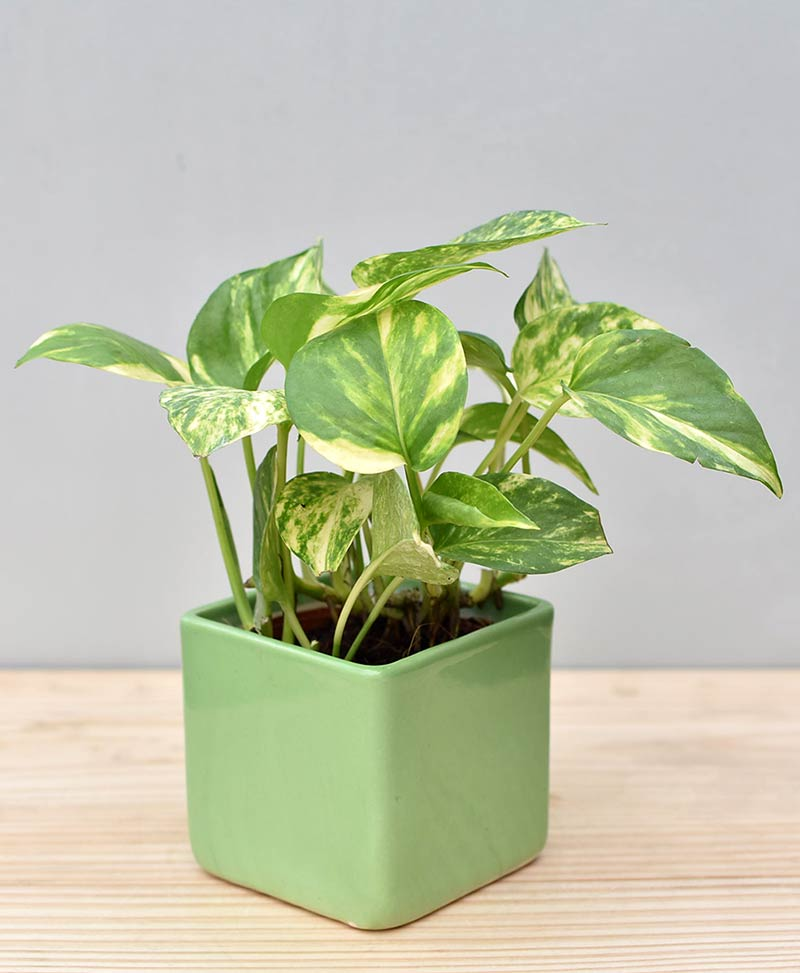 Ceramic Square Pot Green with Variegated Golden Pathos (Draceana)