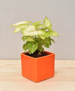 Ceramic Square Pot Orange with Dwarf Syngoniums