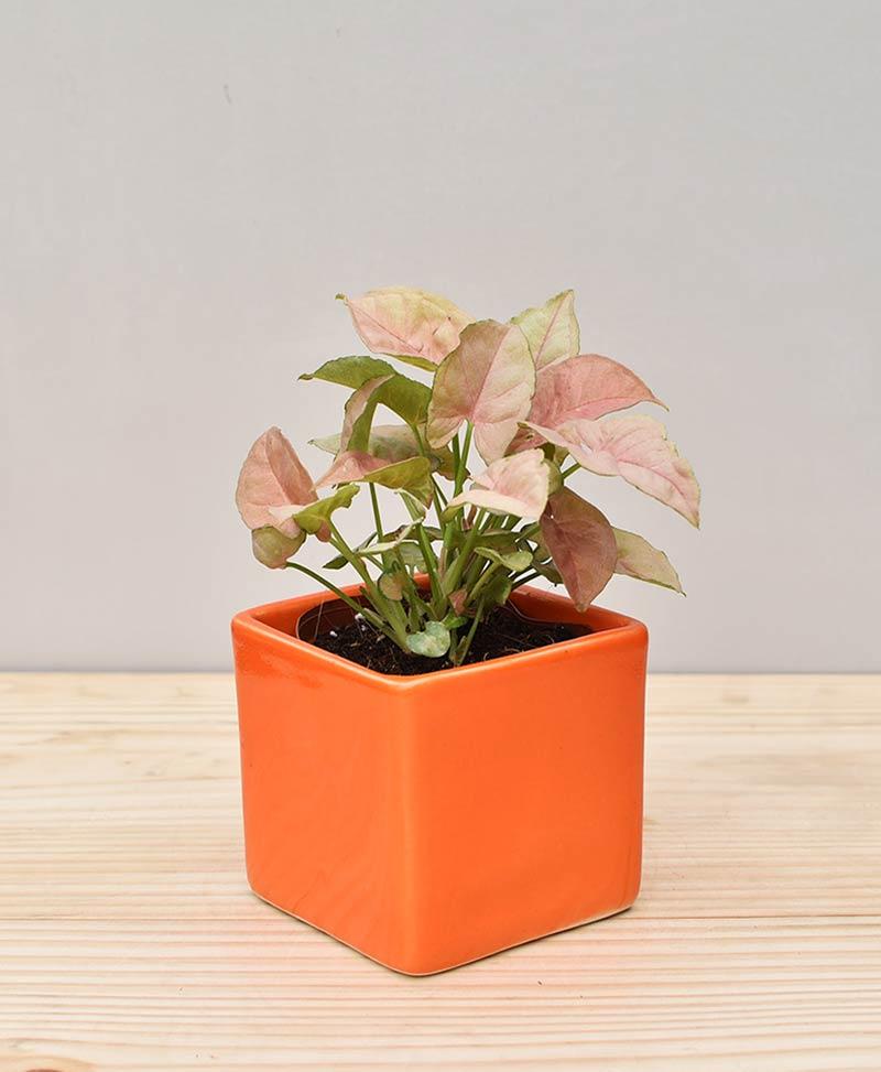 Ceramic Square Pot Orange with Dwarf Syngoniums Pink