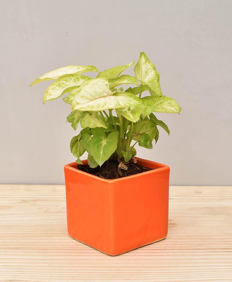 Ceramic Square Pot Orange with Dwarf Syngoniums