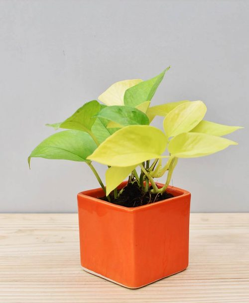Ceramic Square Pot Orange with Golden Pathos (Draceana)