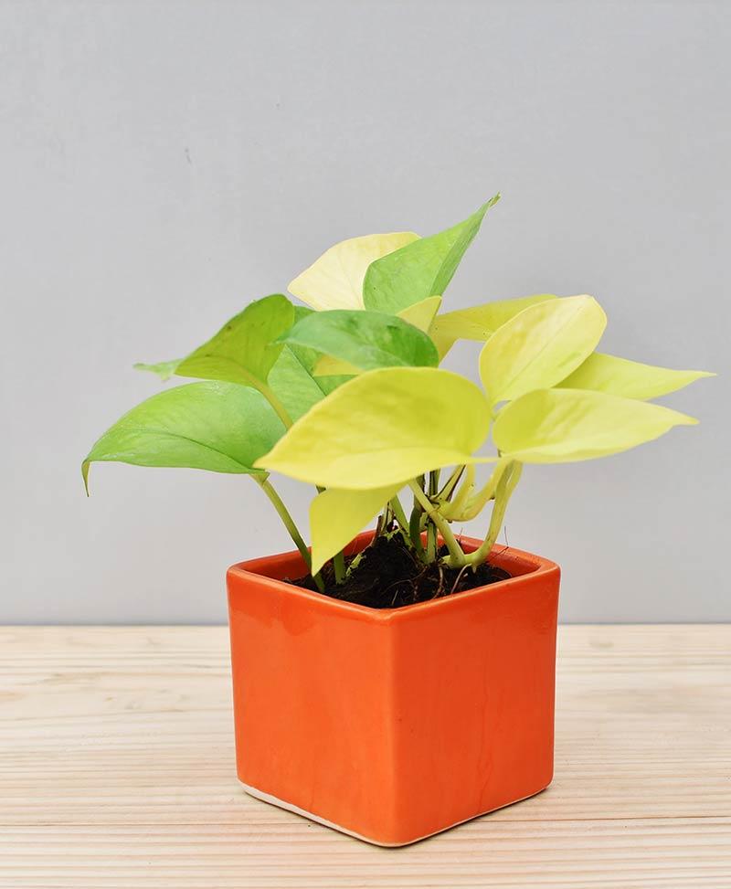 Ceramic Square Pot Orange with Golden Pathos (Draceana)