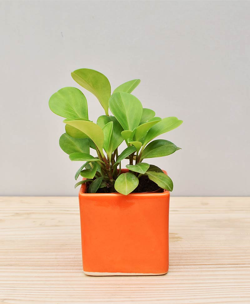 Ceramic Square Pot Orange with Peperomia (Radiator Plant)