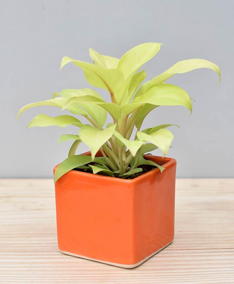Ceramic Square Pot Orange with Philodendron Golden